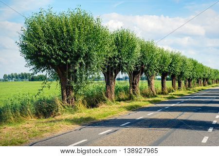 Row of pollard willows on the side of a country road. It's a sunny day in the summer season.