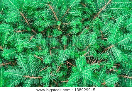 Natural background of green fir branches , there are pictures of this series
