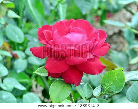 'Mister Lincoln' rose isolated in garden of Niagara Falls Ontario 16 July 2016 Canada