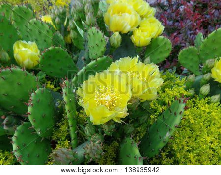Blooming green cacti with yellow beautiful flowers
