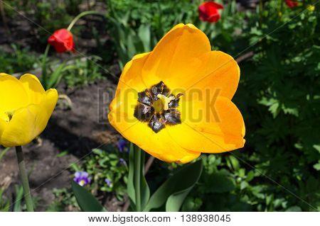 Topaz tulips closeup against greens in a garden