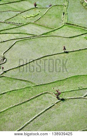 rice paddy terrace fields  Philippines