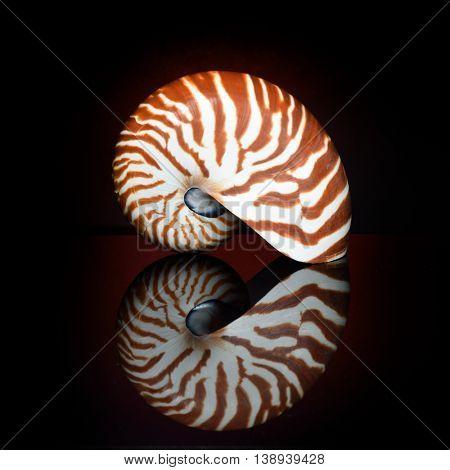nautilus shell in studio