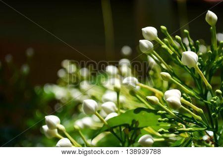 The Gardenia Crape Jasmine in the garden