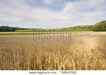 cool sunny afternoon in wheat field wiht beautiful hop-garden near the village Brozany nad Ohri