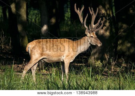 Red Deer in the green woods picture