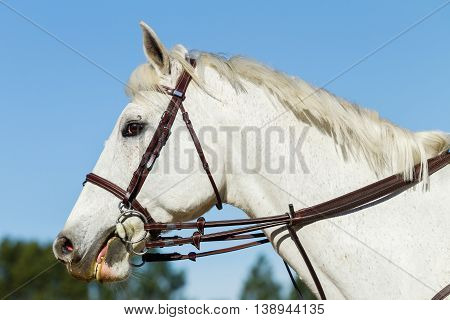 Horse gray equestrian animal portrait head bridle.