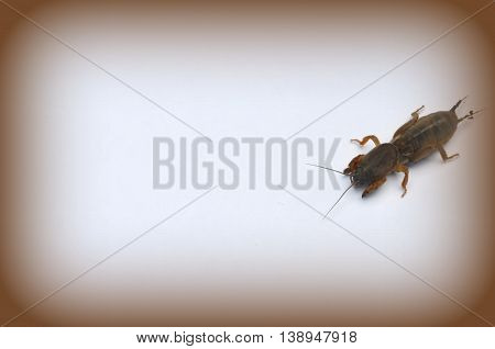 Mole Cricket - a pest in the garden, insect on a white background