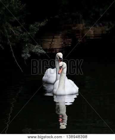 Mute Swan with dark background close up