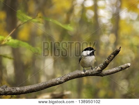 Black-capped chickadee on a branch with soft blurred fall background