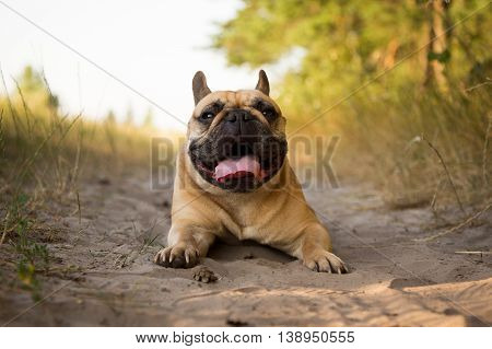 French bulldog resting after running in the field