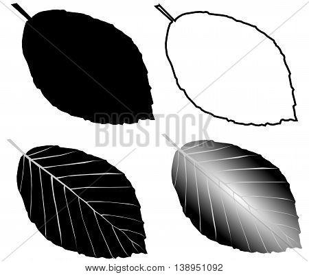 beech , isolated beech leaf , illustration beech leaf ,