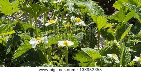 Strawberry blossom in the garden with water drops