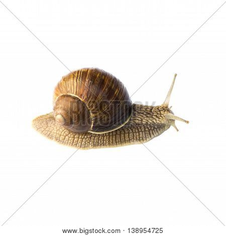 big brown snail goes away isolated on white background