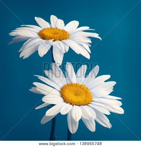 camomile flower on blue