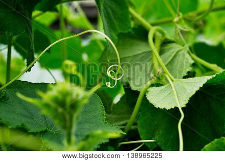 Green cucumbers with flowers hang on a branch. ovary