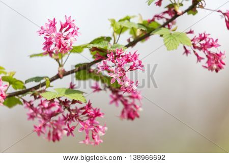 Red flowering Currant Ribes sanguineum close up