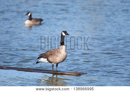 Canadian geese on a lake. close up