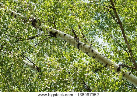 Inclined trunk wood of white birch with green branches with leaves on sky background