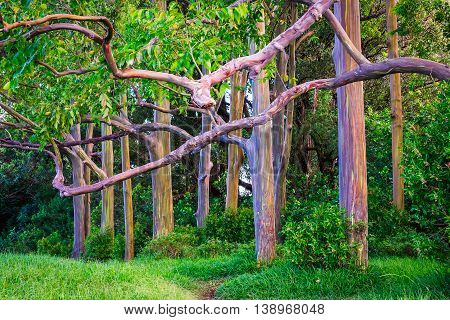 Beautiful Landscape View Of Colorful Painted Eucalyptus Trees