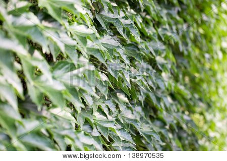 close up of ivy wall and leaf