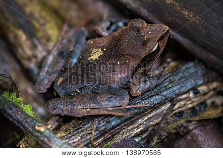 Brown frog sitting on the ground. Madagascar