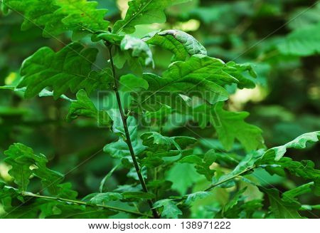 branch of oak leaves with blurred background