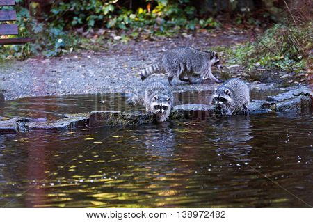 raccoon hunting at water side in Vancouver Canada