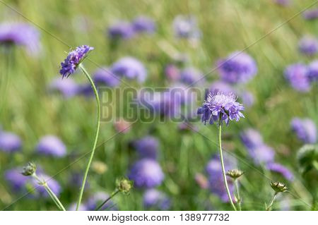 Field scabious (Knautia arvensis)  group of flowers. Patch of purple flowered plants in the family Caprifoliaceae in bloom in a British meadow