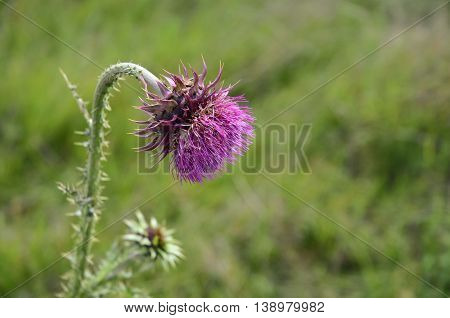 Musk Thistle, wild flowers. Herbs in Europe