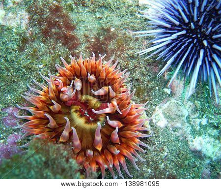 White-Spotted Rose Anemone and Purple Sea Urchin found off of central California's Channel Islands.