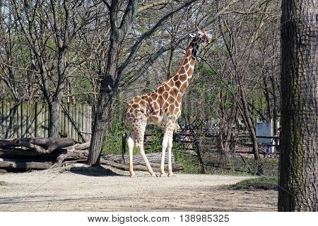BROOKFIELD, ILLINOIS / UNITED STATES - APRIL 23, 2016: A tall reticulated giraffe (Giraffa camelopardalis reticulata) stands in exhibit area in the Brookfield Zoo.