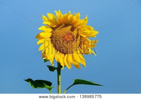 Beautiful sunflower against blue sky in summer