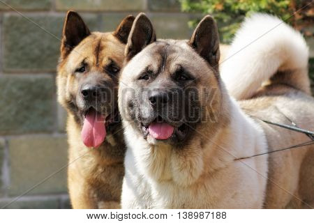 two dogs Akita inu together looking in the same direction