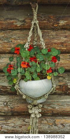 nasturtium in grey cast-iron pot on wood wall