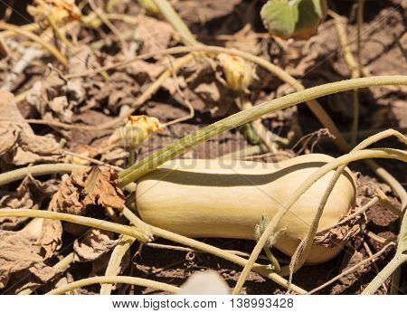 Butternut squash grows on a small organic farm in a Southern California garden.