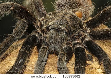 Closeup of creapy mexican black velvet tarantula