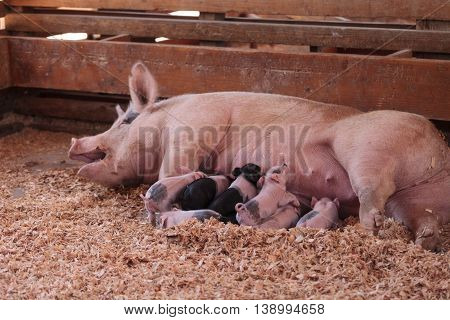 Pink Cerdos piglets still nursing from their mother sow in summer.