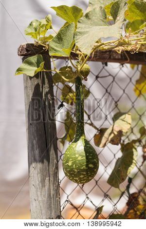 Gourds grow on a vine on a small organic farm in summer.