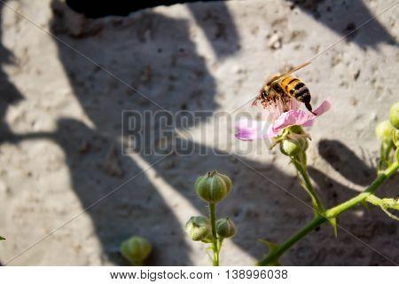 bee sitting on a pink flower blackberry