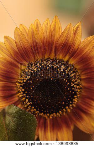 Sunflower, Helianthus annuus, blooms in spring in a garden