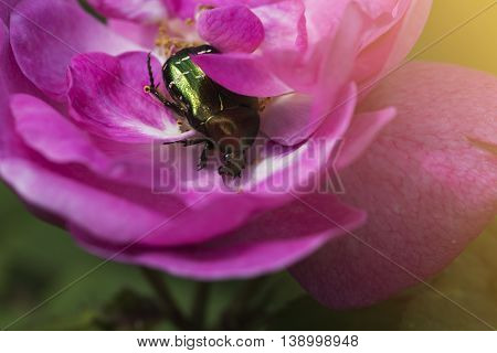 Rose chafer in a pink rose. green chafer climb on the pink rose petal (Cetonia aurata)