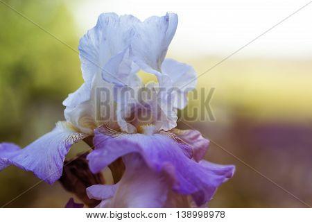 white-purple (violet) spring flowers in a garden. flowers in a garden at springtime