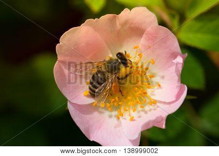 Bee on a pink flower . Macro of honey bee on rose flower. Macro of honey bee (Apis) feeding on flower
