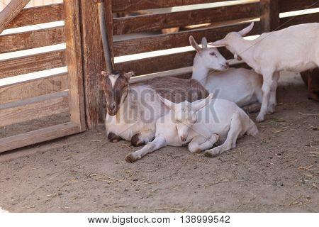 Saanen Goat, Capra aegagrus hircus, in a barn on a small farm in summer.
