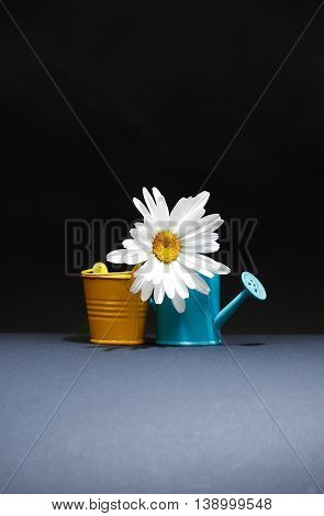 Gardening concept. Daisy flower near bucket and watering can