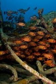 Shoal Of Soldierfish On An Artificial Reef