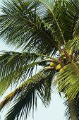 Постер, плакат: Coconat пальмы