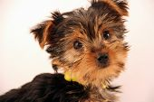 Adorable Terrier Puppy With Cute Face poster