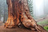 foto of sequoia-trees  - sequoia forest in fog - JPG